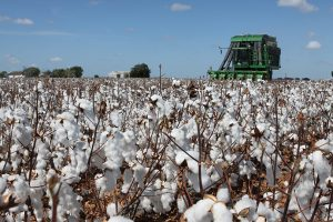 cotton harvested by combine